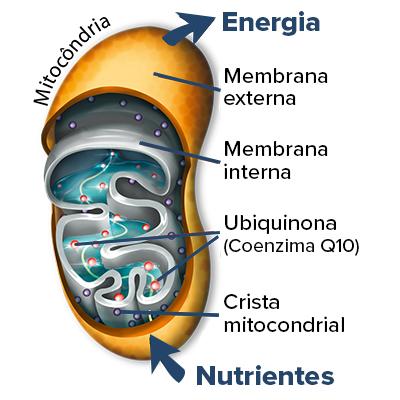 Coenzima Q10 está nas mitocôndrias